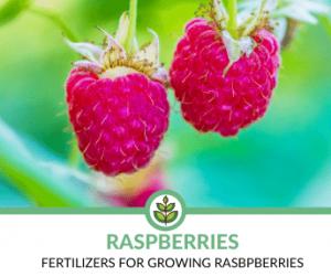 best fertilizers for rasberries