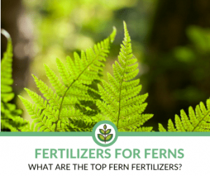 Best Fertilizers for Ferns