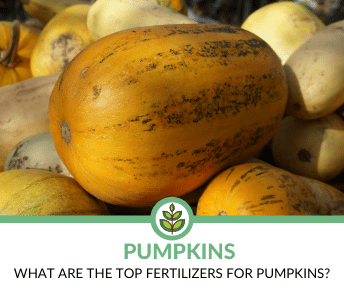 Best Fertilizers for Pumpkins
