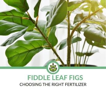 Best Fertilizers for Fiddle Leaf Figs