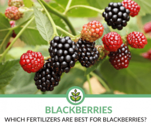 Best Fertilizers for Blackberries