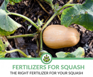 Best Fertilizer for Squash